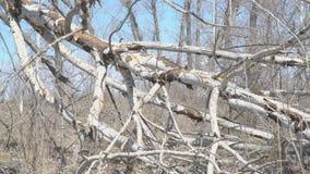 Tree trunk broken by hurricane. Tree trunk broken by strong wind or hurricane stock footage