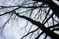 Tree trunk of cercidiphyllum japonicum cake tree Royalty Free Stock Photography