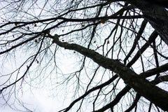 Tree trunk of cercidiphyllum japonicum cake tree Royalty Free Stock Image