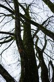 Tree trunk of cercidiphyllum japonicum cake tree. In fall season Stock Photo