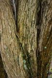 Tree trunk of cercidiphyllum japonicum cake tree. In fall season Stock Image