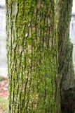 Tree trunk of cercidiphyllum japonicum cake tree Stock Images