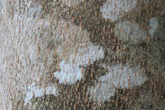 Tree Trunk. A Close Up View of A Tropical Tree Trunk Royalty Free Stock Photo