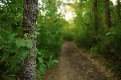 Free Tree Trunk Closeup And Blurred Road In The Early Autumn Forest With Green Foliage Royalty Free Stock Image - 161938386