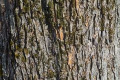 Tree Trunk Closeup. Bark texture of a tree trunk Stock Photography