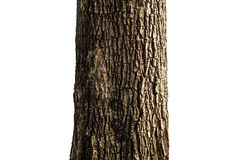 Tree trunk closeup Royalty Free Stock Image