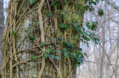 Tree trunk with Common Ivy Stock Photo