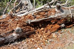 Tree trunk completely destroyed by termites. Large tree trunk fallen to ground after being completely destroyed by termites surrounded with dried branches and Royalty Free Stock Image