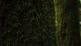 Tree trunk covered with green wet moss. Age and moisture in Alishan Scenic Area Forest in Taiwan