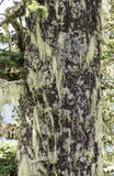 Tree trunk covered with lichen and air plants Royalty Free Stock Images