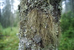 Tree trunk, covered with lichen Stock Image