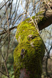Tree trunk covered with the moss Royalty Free Stock Images