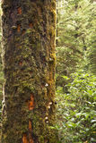 The tree trunk covered by a moss Royalty Free Stock Image