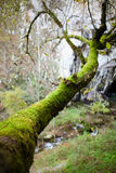 Tree trunk covered with moss Royalty Free Stock Images