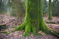 Tree trunk covered with moss Stock Image