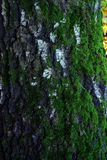 The tree trunk covered with moss. Royalty Free Stock Images