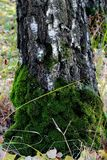 The tree trunk covered with moss. Stock Photos