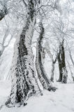 Tree trunk covered with rime in winter forest Stock Photography