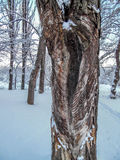 Tree trunk covered in snow Royalty Free Stock Image