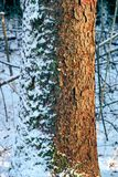 Tree trunk. Covered with snow Stock Photography