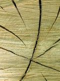 Tree Trunk Cross-Section. Linear star in cross-section of tree trunk Royalty Free Stock Photos