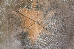 Tree trunk cross section with annual rings Stock Image