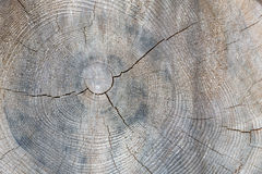 Tree trunk cross section with annual rings Royalty Free Stock Photo