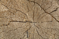 Tree trunk cross section with annual rings Royalty Free Stock Image