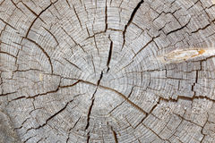 Tree trunk cross section with annual rings Royalty Free Stock Images