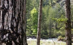 Tree trunk with crust detail. Blurred forest, nature background. Copyspace, close up view. Stock Image