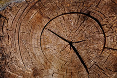 Tree trunk cut Stock Photography