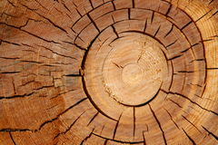 Tree trunk cut Royalty Free Stock Photo