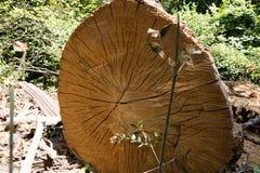 Tree trunk cut Royalty Free Stock Image