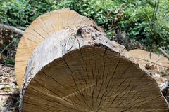 Tree trunk cut. Aged tree trunk cut yexture in park Royalty Free Stock Images