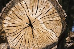 Tree trunk cut with beautiful wood grain and annual rings. As background stock images