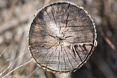 Tree trunk - cut Stock Photography