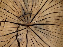 Tree trunk. Cuted tree trunk in the forest stock photos