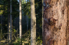 Tree trunk damaged of insects Stock Photography