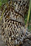 Tree trunk of dasylirion acrotrichum dracenaceae palm leaf plant tree from mexico. Dasylirion acrotrichum dracenaceae palm leaf plant tree from mexico close up Royalty Free Stock Photos