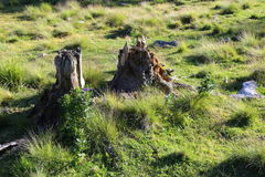 Tree trunk debris. In the forest in decomposition - scrap wood Stock Photography