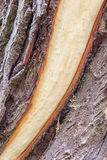 Tree trunk with detached bark Stock Photos