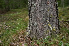 Tree trunk detail. Tree trunk and bark detail Royalty Free Stock Photo