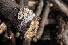 Tree trunk - detail Royalty Free Stock Image