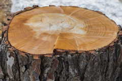 Tree trunk. Royalty Free Stock Photography