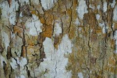 Free Tree Trunk Detail Texture As Natural Background. Bark Tree Texture Wallpaper. Durian Tree Bark. Abstract Background. Stock Images - 113902594