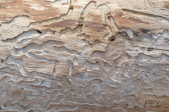 Tree trunk eaten by wood worms Stock Photography