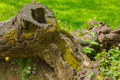 A tree trunk embraces two isolated  florets. A tree trunk protects with its roots two isolated florets Stock Photos
