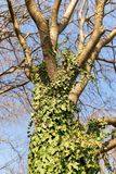 Tree trunk entwined with curly green ivy against a blue spring sky. The common ivy is an evergreen climbing and honey plant. Tree trunk entwined with curly green royalty free stock photo