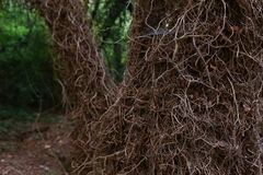 A tree trunk entwined with ivy dry in the woods. A tree trunk entwined with ivy dry, ivy dry roots, web of spider royalty free stock image