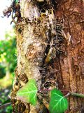 Tree trunk entwined with ivy vines in the garden. Tree trunk entwined with ivy vines close up stock photography